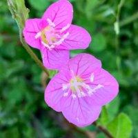 ユウゲショウとは|花言葉や育て方は?似た花との見分け方はある?の画像
