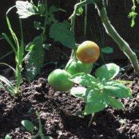 トマトの病気対策|葉っぱの黄色いシミや白い粉はなに?病気になる原因は?の画像