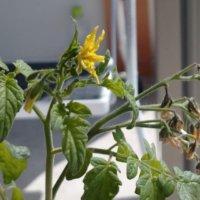 トマトの種まき|時期はいつ?どのくらいで発芽する?植え付けのコツは?の画像