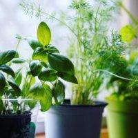 バジルのベランダ栽培|注意点や手入れ、収穫はいつできるの?の画像