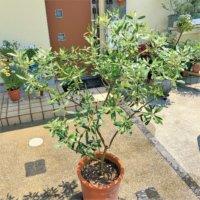 オリーブの木の種類|人気の種類や特徴、食べ方は?の画像
