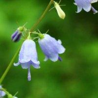 ツリガネニンジンの育て方|植え付けのコツは?葉茎は食用になる?の画像