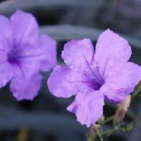 ヤナギバルイラソウの育て方|種まきのコツは?どんな花言葉をもつ?の画像