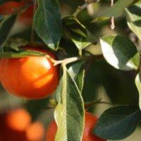 柿の栄養|成分や効能は?食べ過ぎはよくない?どんな種類がある?の画像