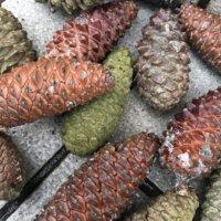 松の実とは|栄養や効能、食べ方は?スーパーでも買えるの?の画像