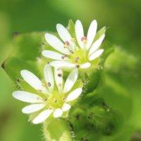 ハコベとは|花言葉や種類、花の特徴や食べ方は?の画像