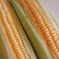 トウモロコシにつく虫|カメムシ、ヨトウムシがいたときの予防や対策は?の画像