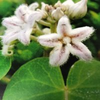 ガガイモとは|花や実の特徴、種類や毒があるの?の画像
