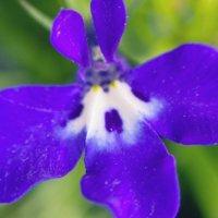 ロベリアの花言葉|花の特徴や種類、怖い意味もある?の画像