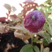 葉の白い斑点はハダニのせい!?安心な食品成分生まれのロハピで野菜やバラを守ろう♪の画像