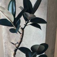 フィカス・バーガンディの育て方|剪定の時期や方法は?色が変わる葉とは?の画像