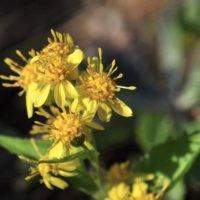 アキノキリンソウとは|似た花や花言葉、葉の特徴や薬効は?の画像