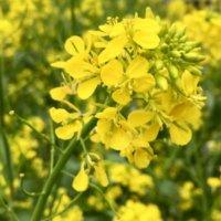 セイヨウカラシナとは|食べ方や味、花言葉や花の特徴は?の画像