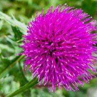 ノアザミ(野薊)|花や葉の特徴、食べ方や味は?の画像
