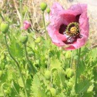 アツミゲシとは|花や葉の特徴、ポピーとの見分け方は?の画像