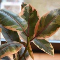 フィカス・ティネケの育て方|葉の色合いや特徴は?どんな花言葉があるの画像