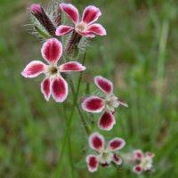 マンテマとは?|花の特徴や種類、似た花はある?の画像