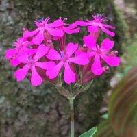 ムシトリナデシコ(虫取撫子)とは?|花言葉や似た花、名前の由来は?の画像