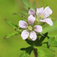 アメリカフウロとは?|花の特徴や花言葉、ヒメフウロとの違いは?の画像