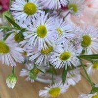 ヒメジョオンの花言葉|花の特徴や由来、ハルジオンとの違いは?の画像