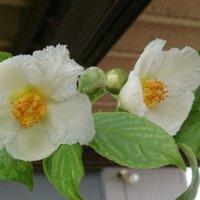 沙羅双樹(シャラの木)の花言葉|花の特徴や香りは?の画像