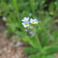 キュウリグサの花言葉|特徴や似ている花との見分け方は?の画像