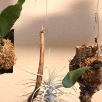コウモリラン(ビカクシダ)の板付|方法や注意点、おすすめの飾り方の画像
