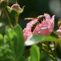 スズメバチ対策には「駆除エサ」!設置するだけで巣ごと壊滅🐝の画像