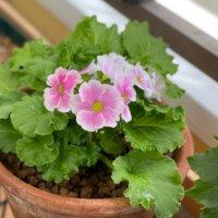 プリムラ・オブコニカの育て方|花の特徴って?花言葉に込められた意味とは?の画像