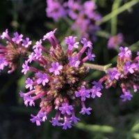 アレチハナガサの育て方|植え付けの時期やコツは?ヤナギハナガサとの違いとは?の画像