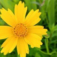 外来種の植物一覧|特定外来生物に指定された植物は?の画像