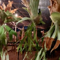 コウモリラン(ビカクシダ)の種類|細かい品種や手入れ方法の画像