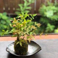苔玉の作り方|手順や必要なもの、おすすめの植物は?の画像