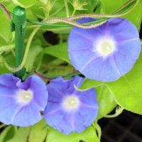 朝顔の葉っぱが枯れる原因|注意する病気や虫は?葉にも種類があるの?の画像