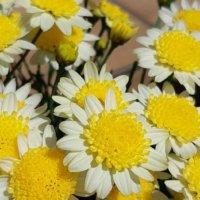 デイジーとマーガレットの違い|花や葉、開花時期での見分け方のポイントは?の画像