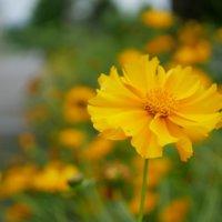 オオキンケイギクとは|日本中で問題のお尋ね者?花や葉の特徴や駆除方法は?の画像