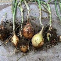 玉ねぎの栄養|効果・効能や保存方法、旬の時期や選び方は?の画像