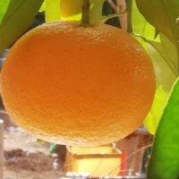 ミカンの栄養|効果・効能や旬の時期、段ボールでの保存方法は?の画像