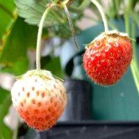 いちごの栄養 効果・効能や保存方法、旬の時期や選び方は?の画像