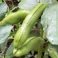 そら豆の栄養 効果・効能や保存方法、旬の時期や選び方は?の画像