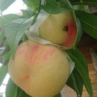 桃の栄養|効果・効能や旬の時期、選び方や保存方法は?の画像