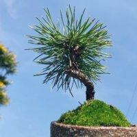 黒松盆栽の仕立て方|枯れない植え替えのコツは?剪定や芽摘みの時期はいつ?の画像