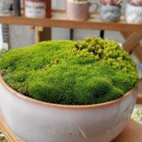 苔盆栽の仕立て方|水やりは難しい?管理に適した環境とは?の画像