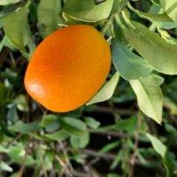キンカンの栄養|効果・効能や保存方法、旬の時期や選び方は?の画像