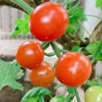 ミニトマトの栄養 効果・効能や保存方法、旬の時期や選び方は?の画像