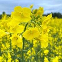 菜の花の栄養|効果・効能や保存方法、旬の時期や選び方は?の画像