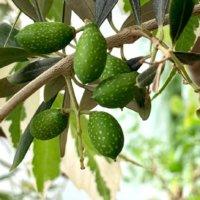 オリーブの栄養 効果・効能や保存方法、旬の時期や選び方は?の画像