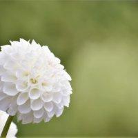 ダリアの種類 人気の品種や花の大きさ、色はどれくらいあるの?の画像