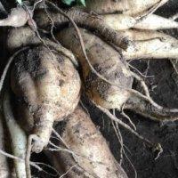 ヤーコンの栄養|効果・効能や保存方法、旬の時期や選び方は?の画像