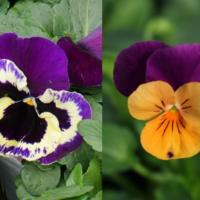 【写真付】パンジーとビオラの違い|見分け方は?本当は同じ花なの?の画像